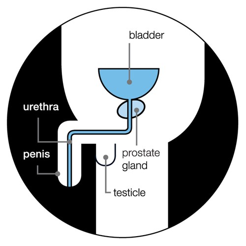 the-prostate-gland
